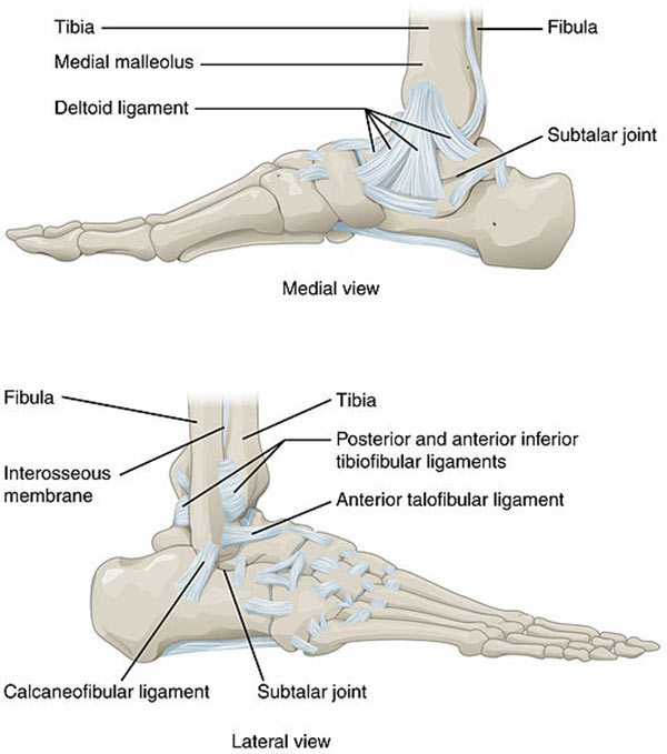 Ankle_Feet_Joints