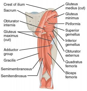 Anatomy of glute muscles