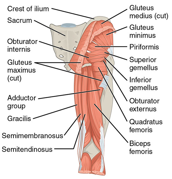 Gluteal Muscles of the hip