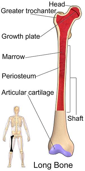 Anatomy of hip