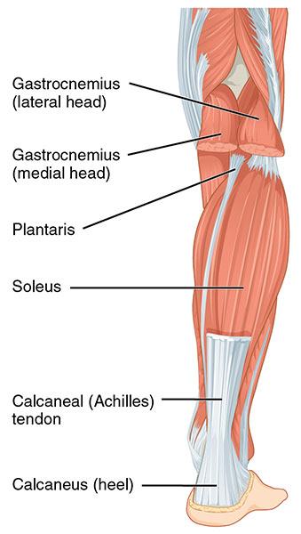 achilles muscle of leg